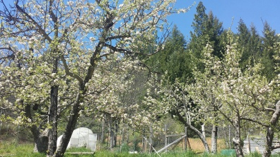 flowering apple trees, 2015