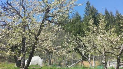 flowering apple trees, 2015