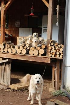 Nani, back porch and pups